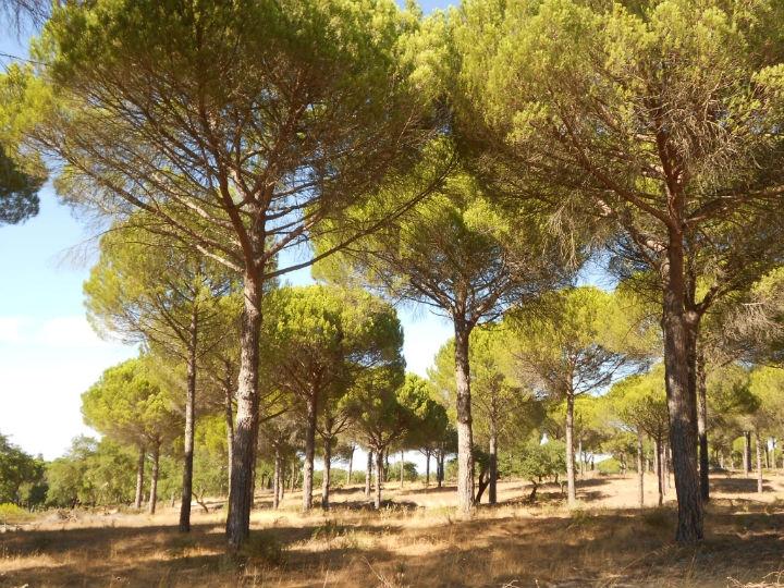 Povoamento de pinheiro manso