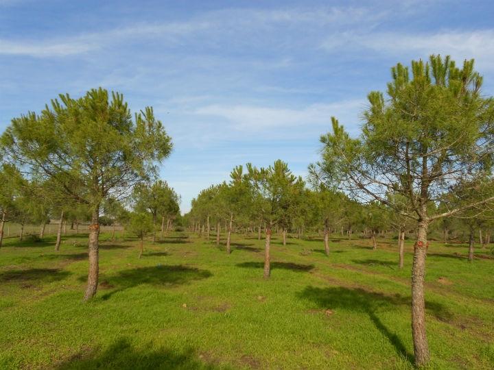 Povoamento de Pinheiros Mansos Desramados